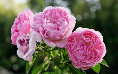 A la découverte de la rose de mai